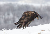 Golden Eagle, Aquila chrysaetos, adult male in flight, Bulgaria