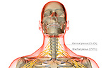 An anterior view of the nerve supply of the head and neck. The surface anatomy of the body is semi-transparent and tinted red. Royalty Free