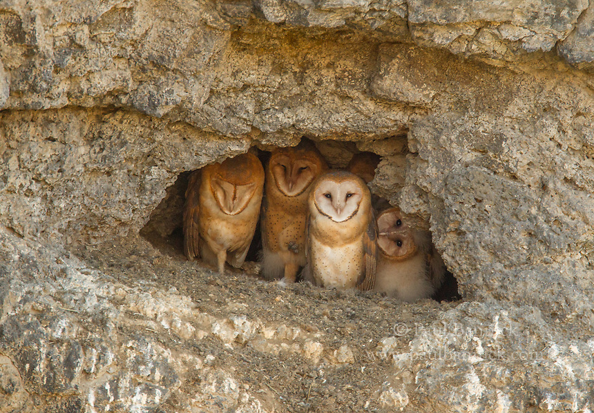 A family of Barn Owls peer from the entrance of their nest in a cliff-side cave.
