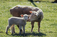 Domestic Sheep , Ovis aries, female with young, Oberaegeri, Switzerland, May 2005