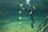A zookeeper diving in the manatee pool to attach a string of lettuces at feeding time, in the Zone Guyane of the Great Glasshouse in the new Parc Zoologique de Paris or Zoo de Vincennes, (Zoological Gardens of Paris or Vincennes Zoo), which reopened April 2014, part of the Musee National d'Histoire Naturelle (National Museum of Natural History), 12th arrondissement, Paris, France. Picture by Manuel Cohen