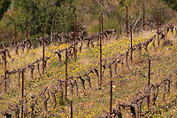 Domaine Fontedicto, Caux. Pezenas region. Languedoc. France. Europe. Vineyard.