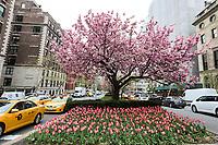 NEW YORK, EUA, 19.04.2017 - PRIMAVERA-NEW YORK - Flores e uma cerejeira são vistos em avenida da Ilha da Manhattan nesta quarta-feira, 19. Arvores floridas e muitas flores podem ser vistas por toda a cidade de New York neste inicio de primavera. (Foto: William Volcov/Brazil Photo Press)
