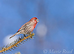 House Finch (Carpodacus mexicanus) male, singing in late winter, Ithaca, New York, USA
