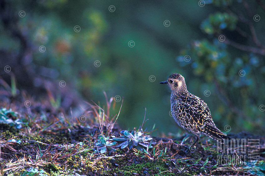 Native Hawaiian Kolea bird, the golden plover