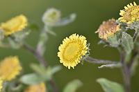 Small Fleabane - Pulicaria vulgari