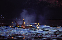 Killer whale, Orcinus orca, Group surfacing and spouting at sunset, Tysfjord, Arctic Norway, North Atlantic