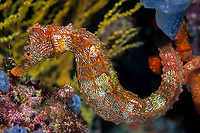 Pacific seahorse, Hippocampus ingens, Vulnerable (IUCN), Galapagos Islands, UNESCO Natural World Heritage Site, Ecuador, East Pacific Ocean