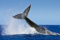 Humpback whale (Megaptera novaeangliae) displaying aggressive caudal peduncle throw behavior near Hawai'i