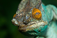 portrait of a male parson's chameleon