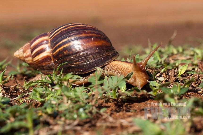 Giant African snail..Ndumo Game Reseve, Kwazulu-Natal, South Africa..November 2010.