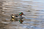 Green-winged Teal (Anas crecca) male swimming, Henderson, Nevada.