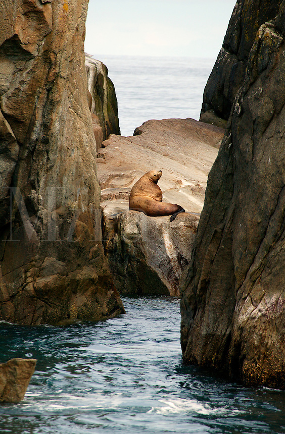 Steller Sea lions, Chiswell Islands, part of the Alaska Maritime Natonal Wildlife Refuge, Kenai Fjords National Park, Alaska