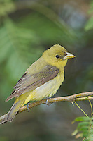 Scarlet Tanager, Piranga olivacea, female, South Padre Island, Texas, USA