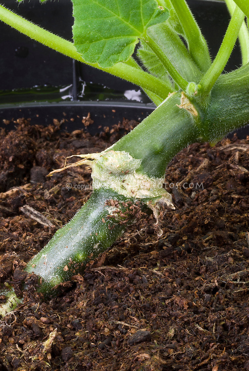 Squash 'Autumn Crown' grafted on 'Bodyguard', graft root joint vegetable, educational picture of grafting plants