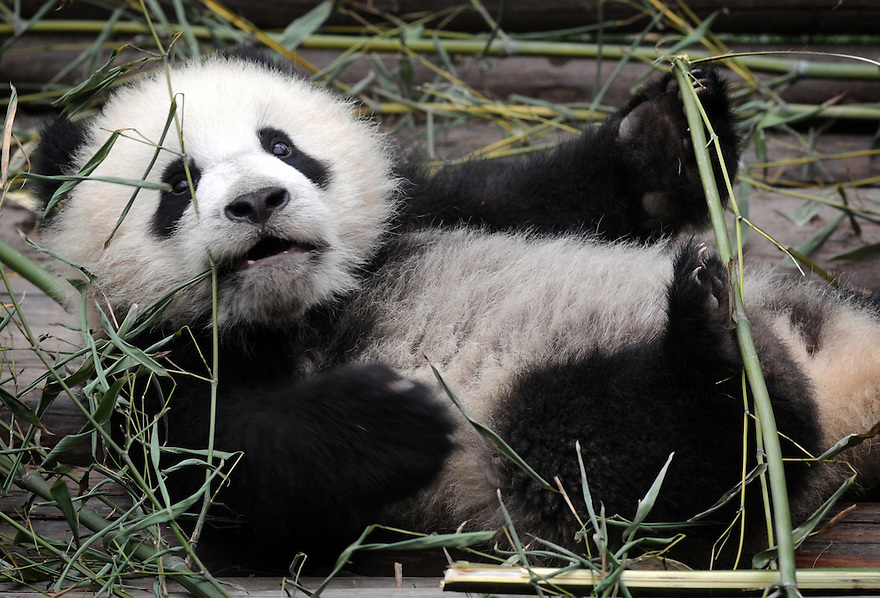 BABY PANDA PLAYING  AT THE CHENGDU PANDA BREEDING AND RESEARCH CENTRE, SICHUAN, CHINA. 14/3/13. PICTURE BY CLARE KENDALL 07971 477316