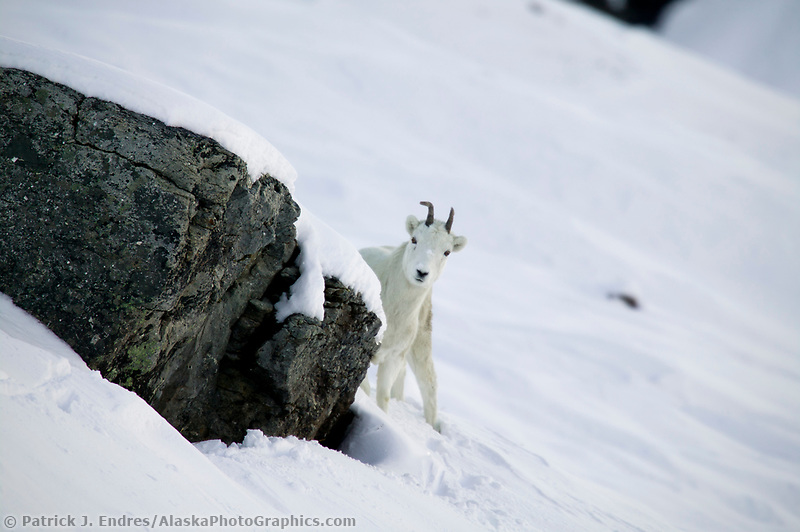 Dall sheep ewe, Atigun pass, Brooks Range, Arctic, Alaska