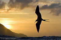 Magnificent Frigatebird - Fregata magnificens<br /> Little Tobago, Trinidad and Tobago