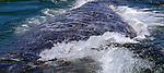 "Gray whales have the longest known migration of any mammal. They travel 10,000-12,000 miles round trip every year between their winter calving lagoons in the warm waters of Mexico and their summer feeding grounds in the cold Arctic seas. They are sometimes called the ""friendlies"""