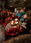 peacock mantis shrimp: Odontodactylus scyllarus moving a rock to make a burrow, Tulamben, Bali