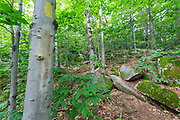 Blaze removal along the Mt Tecumseh Trail in the White Mountains of New Hampshire. This beech tree was improperly blazed in 2011. And in 2012 Proper parties removed the dripping blaze (bottom blaze) using proper protocol. In time, the removed blaze will fade and not be visible. See how it looked before removal: http://bit.ly/12ECXJz
