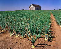 Field of onions ready for harvest on farm in the Willamette Valley near Brooks, Oregon