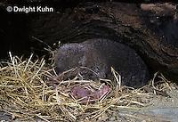 MU15-002z  Short-tailed Shrew - with young -  Blarina brevicauda