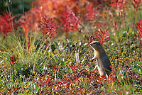 Arctic Ground Squirrel on the autumn tundra, Denali National Park, Alaska