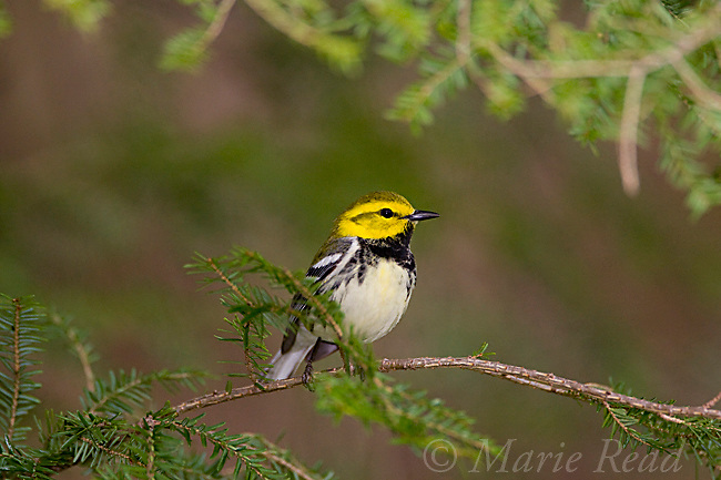 Black-throated Green Warbler (Dendroica virens), male in breeding plumage, New York, USA