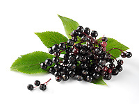 Bunch of Wild Elderberries