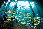 Blue and yellow fusilier: Caesio teres, gather under Arborek Jetty, Raja Ampat, Indonesia