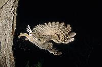 Eastern Screech-Owl, Megascops asio, Otus asio,adult in flight leaving cavity, Willacy County, Rio Grande Valley, Texas, USA