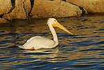 white pelican at the Salton Sea.    FB-S183   Back small photo.   Crop to square around pelican.   For bottom left back