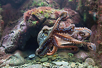 France, Bretagne, (29), Finistère, Brest: Océanopolis est un centre de culture scientifique consacré aux océans, Poulpe