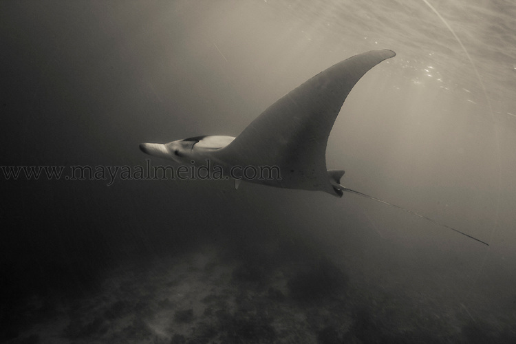 This image was taken in the North Ari Atoll of the Maldives. Reef mantas (manta alfredi) are one of the largest of the ray species with the largest brain-to-body ratio of the sharks, rays and skates (Elasmobranchii). In the Maldives they can be seen across the region but are becoming increasingly cautious as a result of the number of divers in the water. For me, they look ike ´fairies of the sea´ and never cease to hold great wonder. This shot was taken when I decided to jump off the dive boat without scuba equipment and freedived down to meet this peaceful manta. I let the ocean gently bring me up without finning leaving her enough space to come as close as she wanted. After a week of numerous encounters with mantas It is interesting how markedly different these animals behave without noisy equipment. Almost like curious children.. For most of the time I waited for her at the surface until she felt curious enough to come closer.