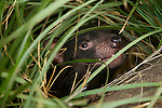 tasmanian devil (sarcophilus harrisii).The Tasmanian devil  is a carnivorous marsupial of the family  now found in the wild only in the Australian island state of Tasmania.