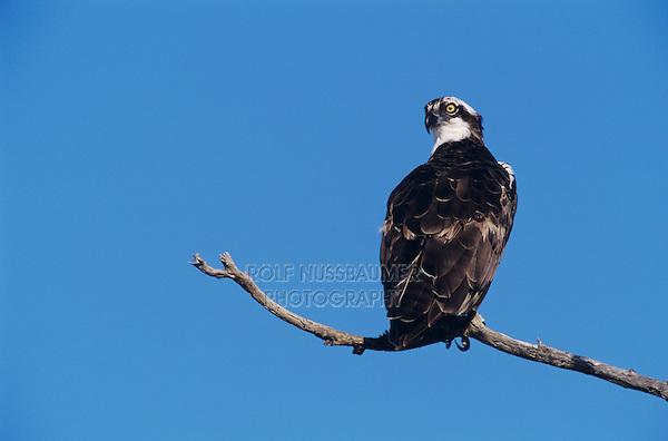 Osprey, Pandion haliaetus, adult, Sanibel Island, Florida, USA, Dezember 1998