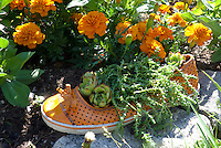 Orange shoe filled with growing sedum, in marigold garden, Yarmouth ME