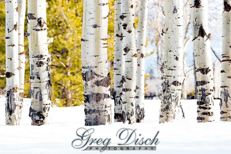 Aspen trees in Grand Teton National Park in Winter