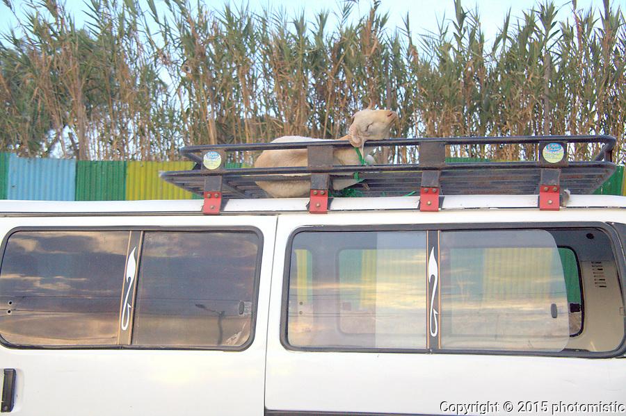 sleeping roof goat