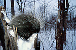 Porcupine (Erethizon dorastum) - Minnesota, in tree with snow, showing face, eyes and spines.USA....