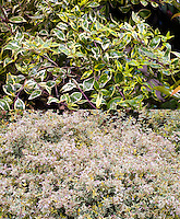 Abelia Hopley's in two phases, in flower and just variegated foliage, composite picture