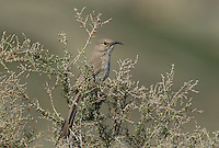 581970028 a wild lecontes thrasher toxostoma lecontei perches in a chapparal plant near maricopa in kern county california
