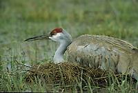 Sandhill Crane (Grus americana)
