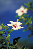 flower white hibiscus blue sky. Saint Thomas Virgin Islands United States Virgin Islands caribbean.