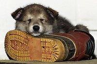 Wolf Pup asleep on boot  #Z6