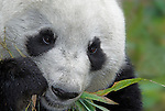 Giant Panda, Ailuropoda melanoleuca, close up, portrait, feeding on bamboo, Wolong Research and Conservation Centre, Sichuan (Szechwan) Province Central China, can handle bamboo with great dexterity with extended sesamoid bone in wrist which acts like false thumb, reserve, breeding centre, captive, captivity, asia, asian, black, white, chinese, fur, furry, bears, pandas, patterns, omnivores, snow.China....