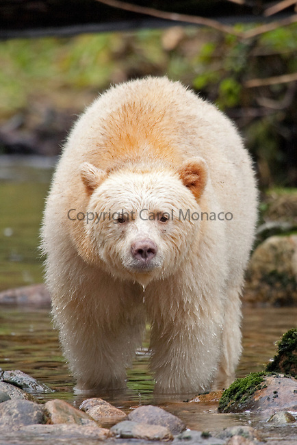 British Columbia, Canada. Spirit (Kermode) bear looks up from fishing in the river (full frame)