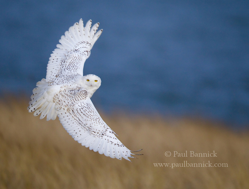A Snowy Owl takes hunts on a grassy knoll surrounded by the Pacific Ocean.