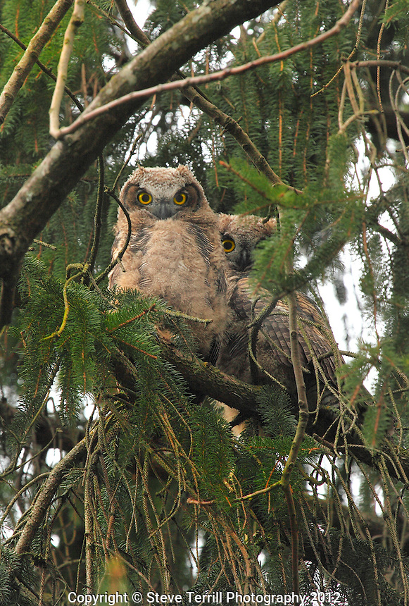 Great horned owlets at Whitaker Ponds in Portland Oregon